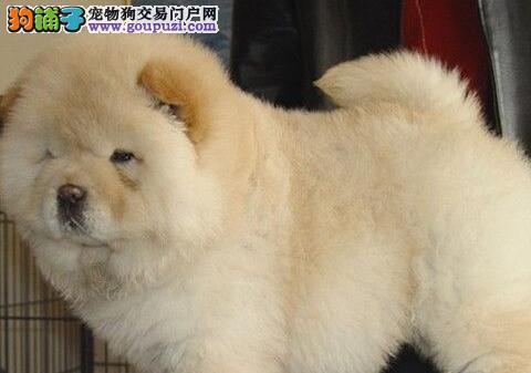 黄灰色紫舌头的台州松狮犬火爆热卖中 终身完美的售后