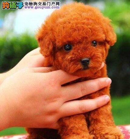 娇小可爱活泼勇敢的洛阳贵宾犬找爸爸妈妈 狗贩子勿扰