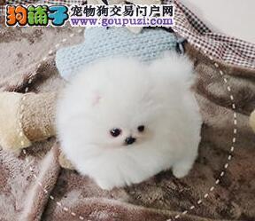 宁波大型犬舍自己繁殖纯种博美犬 公母全已驱虫有保障