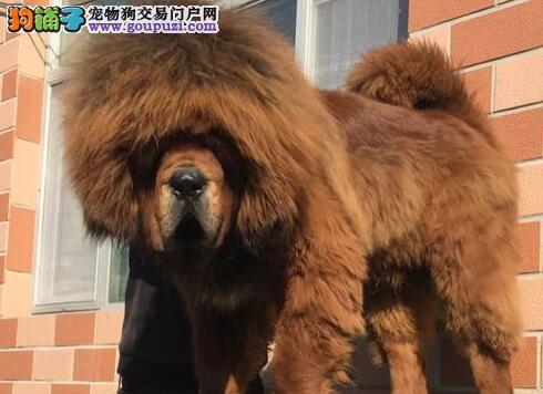 售超高品质的常州藏獒幼崽 大狮头大毛量 欲购从速
