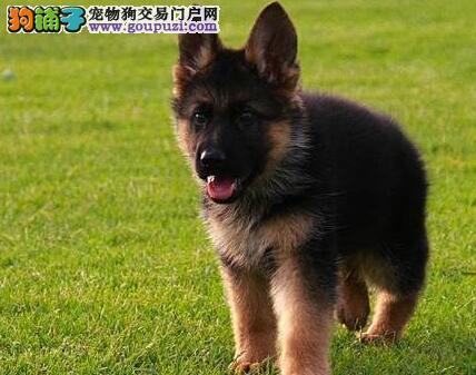 武汉最大的繁殖基地出售德国牧羊犬 我们承诺售后三包