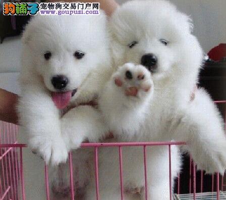上海狗场火爆低价热卖萨摩耶宝宝 微笑天使般惹人爱