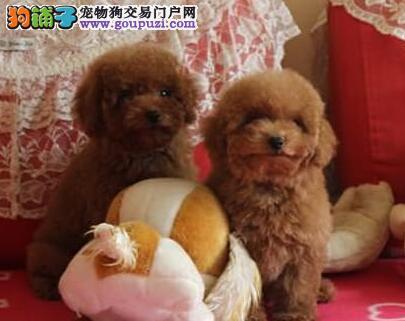 南昌正规狗场出售巨型贵宾犬 建议大家上门选购哦