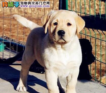 贵阳大型养殖基地特价出售拉布拉多犬 赠送宠物狗用品