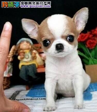 苹果头小巧可爱的广州吉娃娃幼犬找爸爸妈妈 非诚勿扰