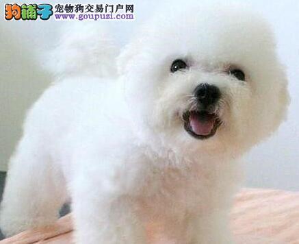 纯种卷毛比熊犬 深圳棉花糖白色粉扑巴比熊犬出售中