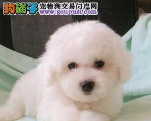纯种宠物狗 宠物犬 法国卷毛比熊犬直销 比熊幼犬
