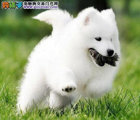 高端萨摩耶幼犬 低价热销保健康 可送货上门