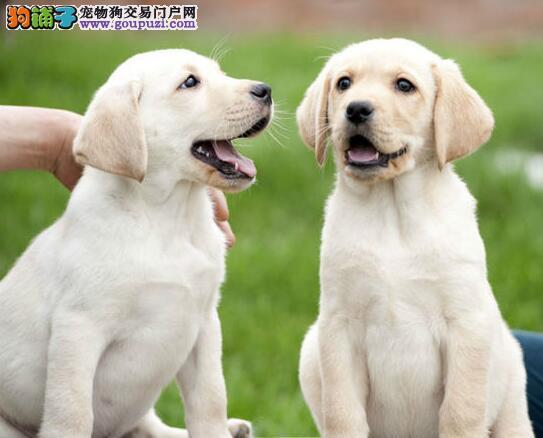 东莞知名犬舍出售纯种健康的拉布拉多犬 狗贩子请绕行