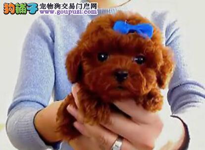 刚出窝的杭州茶杯泰迪犬 公母都有 可打电话预定