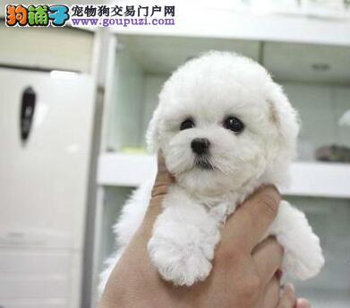 杭州最大的繁殖基地出售卷毛比熊犬 大眼睛甜美脸型