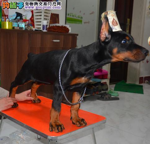 极品杜宾犬热销中 可办理血统证书 三年质保协议