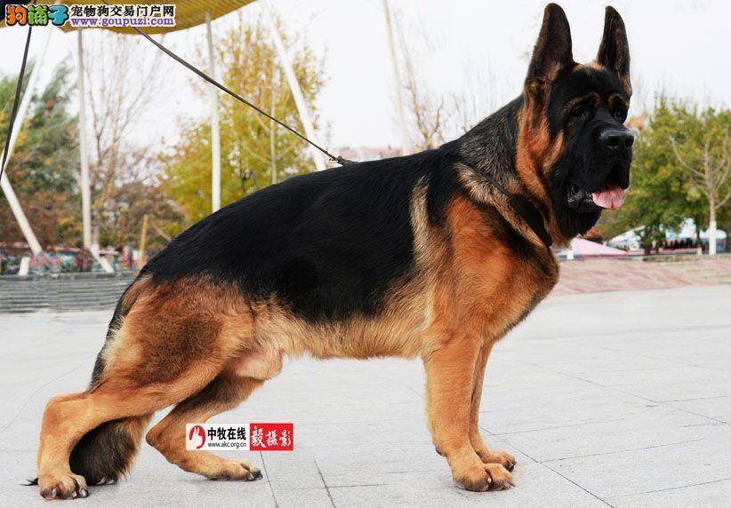 顶级锤系大狼狗 黑脸 瓦尔特 统一后代均有品质保障