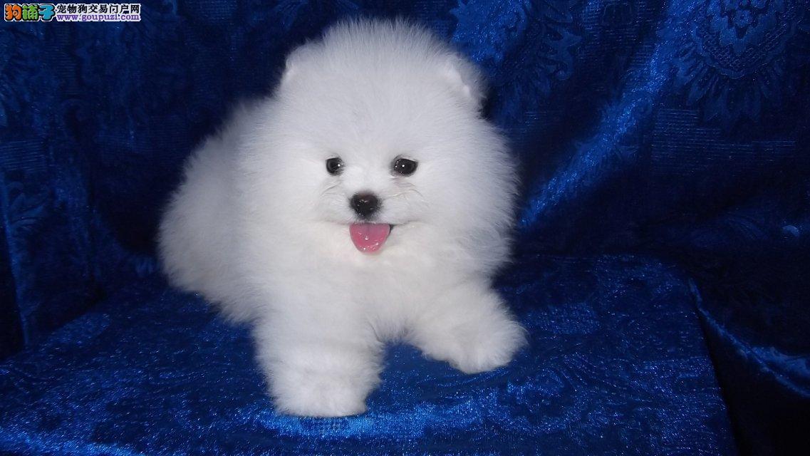高品质哈多利版白色博美幼犬、纯种健康、价格合理