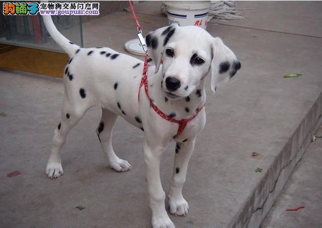 出售纯种斑点狗狗 非常温顺斑点狗 喜欢的尽快联系