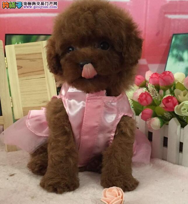 买泰迪来无锡专业泰迪犬舍 自繁自销 保证血统纯正