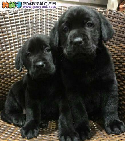 西安热销拉布拉多颜色齐全可见父母全国十佳犬舍