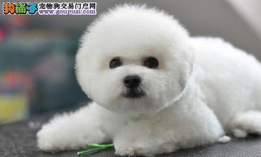 北京大型狗场直销出售比熊犬 驱虫疫苗已做可办理证书