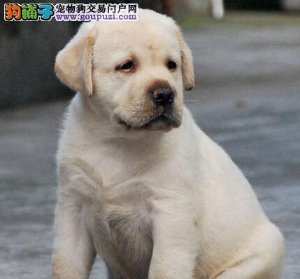 沈阳繁殖中心出售拉布拉多犬 可见狗狗父母支持空运