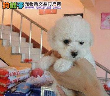 深证正规犬舍繁殖直销卷毛比熊犬 公母都有可视频看狗