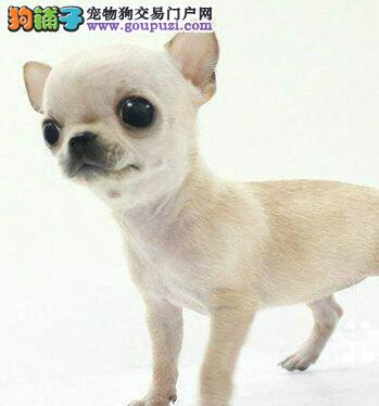 多只纯种苹果头吉娃娃低价出售深圳的朋友可上门看狗
