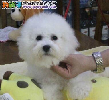 出售勇敢机灵聪明听话的广州比熊犬 带有血统证书