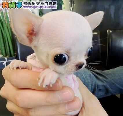 你吉娃娃幼犬宝宝出售 诚心想要的朋友上门选购,