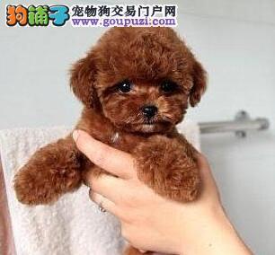 出售一窝玩具型黑泰迪熊幼犬