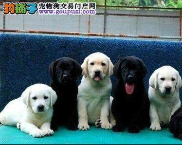 深圳哪里有卖拉多狗深圳哪里买拉多最好 纯种拉多价钱