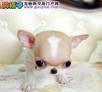 犬舍直销品种纯正健康连云港吉娃娃保障品质一流专业售后