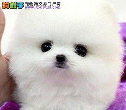 赛级品相博美犬幼犬低价出售同城免费送货上门