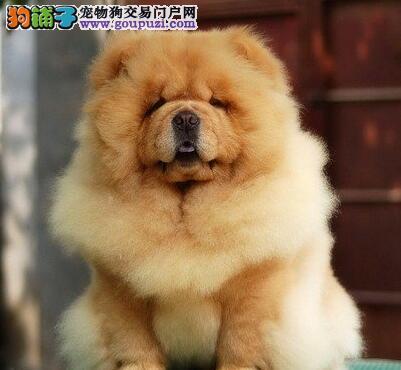 出售大毛量紫舌松狮犬 杭州地区可送赠品有终身质保