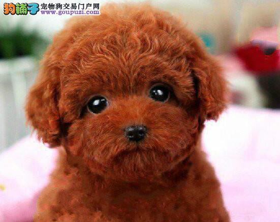 百分百健康纯种泰迪犬热卖中可直接微信视频挑选