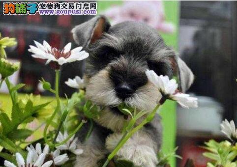 杭州正规养殖基地出售雪纳瑞 不纯按原价十倍赔偿