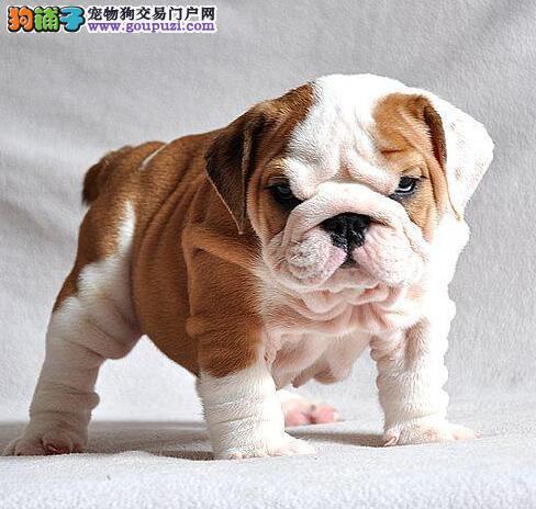 出售多只优秀的英国斗牛犬渝中可上门欢迎爱狗人士上门选购