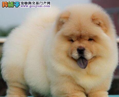 极品大嘴松狮犬苏州专业犬舍繁殖出售 毛量大品相好