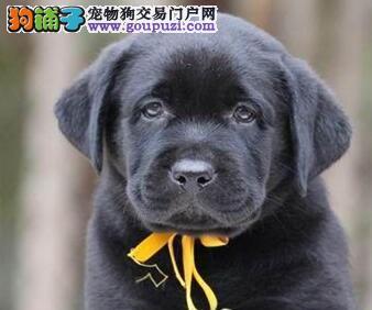 高品质拉布拉多幼犬、疫苗齐全包养活、质保全国送货