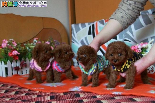 广东大型犬舍低价热卖极品茶杯犬签订终身纯种健康协议
