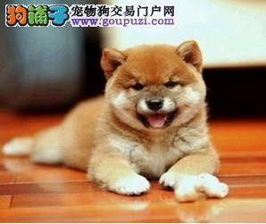 成都唯一一家大头秋田犬繁育中心 正宗日系纯种秋田犬