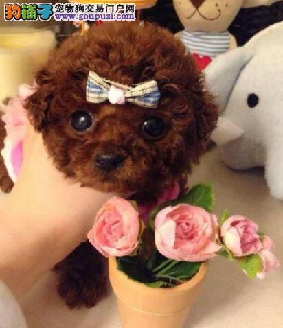 可爱至极的郑州小泰迪大促销 圆圆的眼睛 娃娃脸萌萌哒