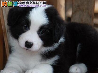 太原出售纯种边境牧羊犬 当面交易 签订正式协议