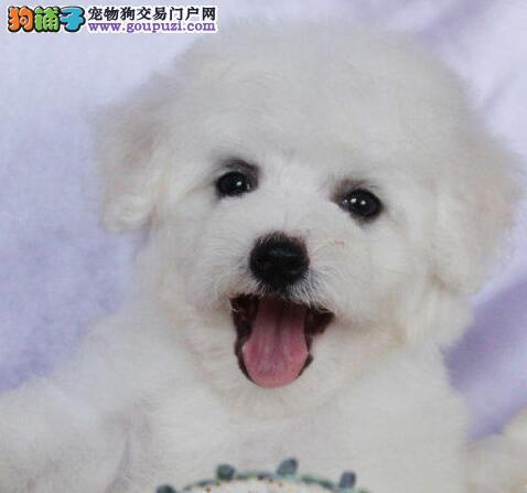 特价出售精品卷毛比熊犬 可来北京办理证书植入芯片