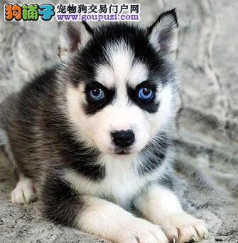 武汉犬舍转让精品哈士奇蓝眼三火品质保证