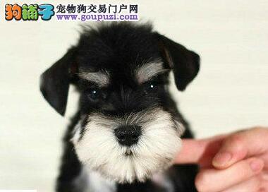 小型迷你杭州雪纳瑞犬低价出售 性格活泼 帅气机警