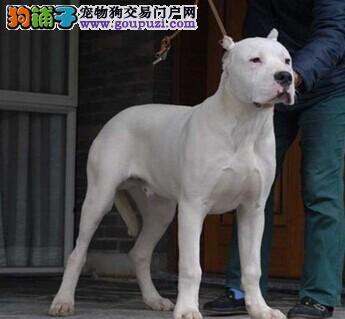 精品高品质杜高犬幼犬热卖中签订保障协议
