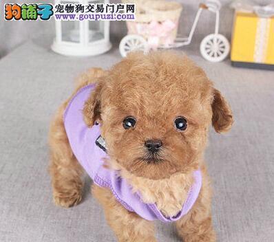 济南专业繁殖纯种高品质小体泰迪幼犬 狗贩子勿扰
