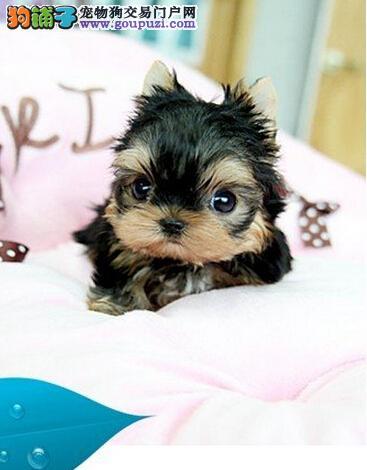 高贵象征首选约克夏幼犬---乐都宠物会所