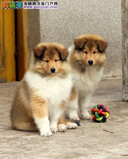 低价出售纯种苏格兰牧羊犬,各色挑选,保质量包健康