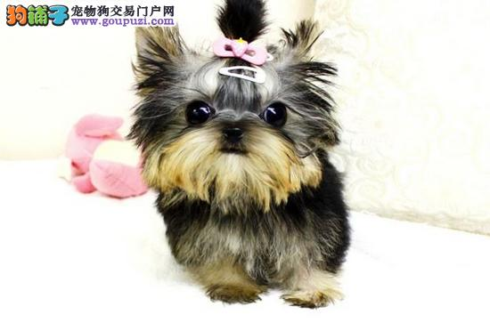 南京热卖约克夏多只挑选视频看狗保证冠军级血统