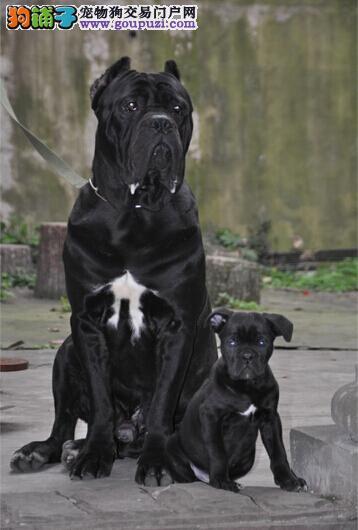 和田售霸气卡斯罗犬包纯种包健康 高品质护卫犬幼犬